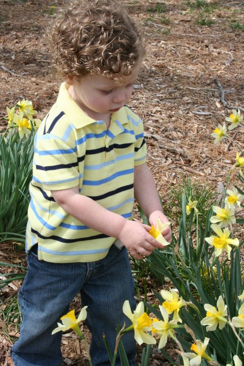 Daffodil 020