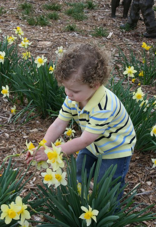 Daffodil picking