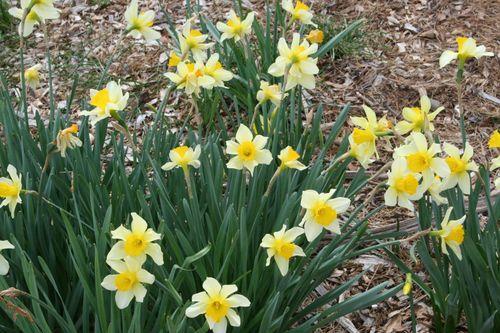 Daffodil 035