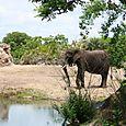 Kilimanjaro Safari - African Elephant