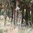 Kilimanjaro Safari - Giraffe