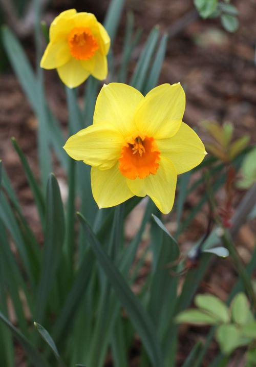 Yellow & orange daffodil