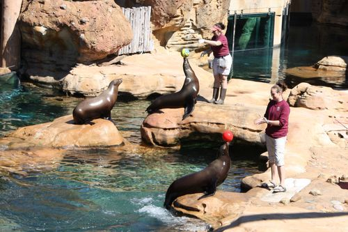Sea lions with balls