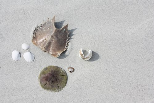 Horseshoe crab, sand dollar, and shells
