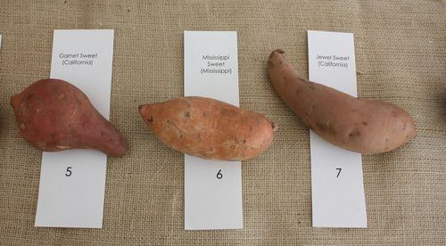 Garnet Sweet Potato, Mississippi Sweet Potato, & Jewel Sweet Potato