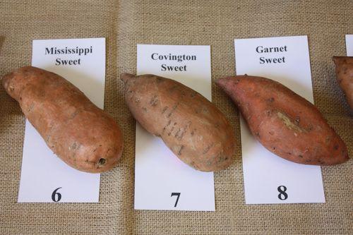 Mississippi Sweet, Covington Sweet, and Garnet Sweet Potatoes