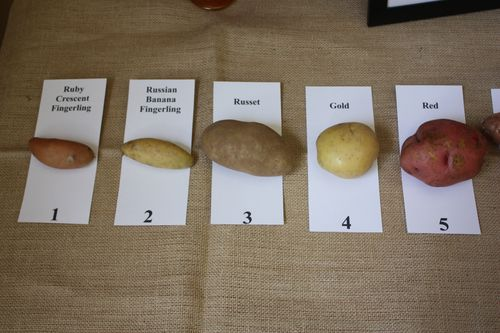 Ruby Cresent Fingerling, Russian Banana Fingerling, Russet, Gold, and Red Potatoes